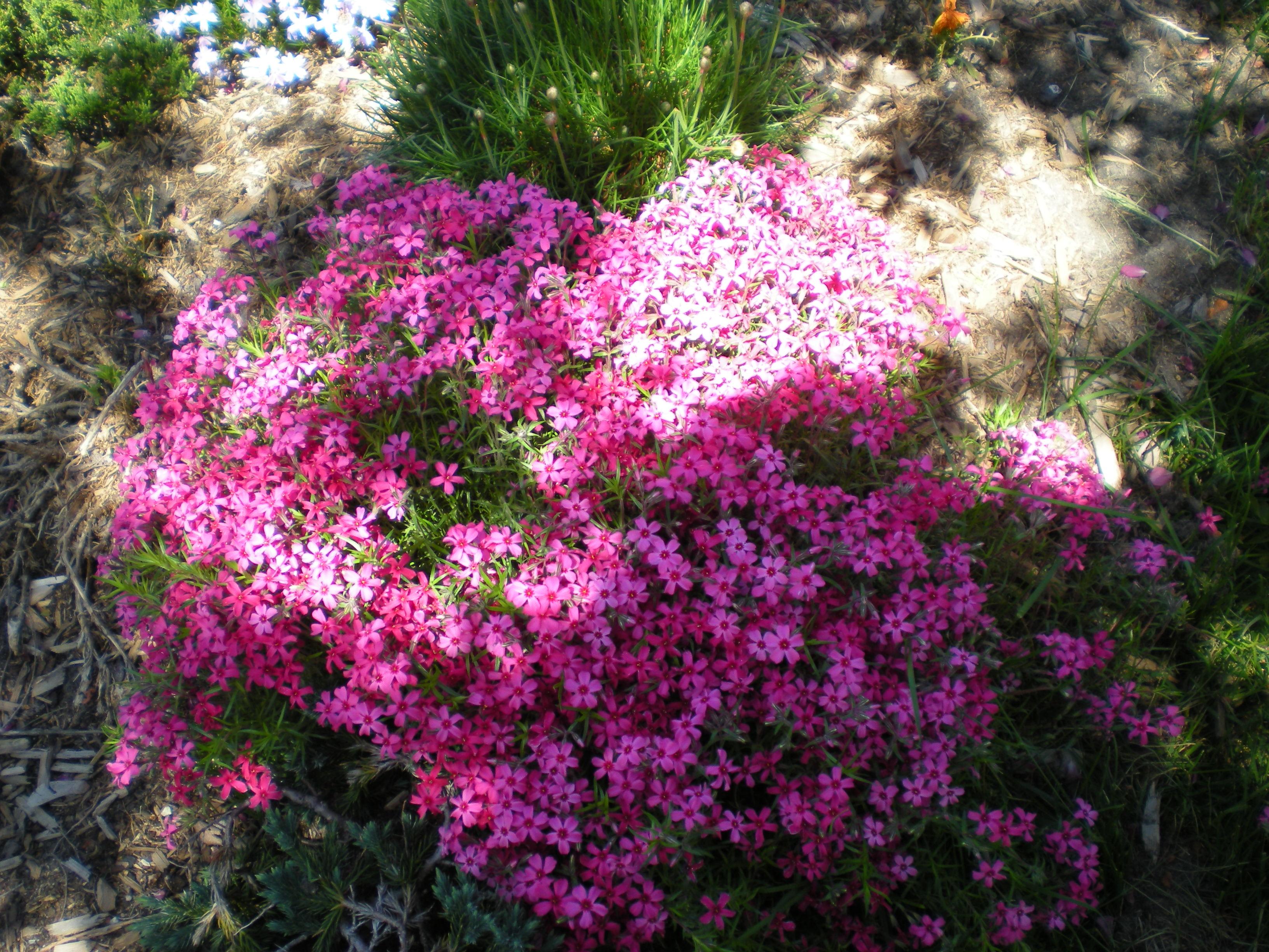 Japanese water garden pink - Creeping Phlox Rmsiblog