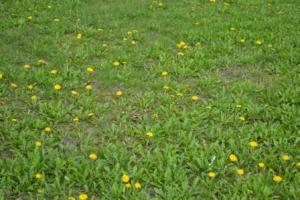 Don't put up with a bad lawn just because you can no longer apply pesticides. it is possible to have a great lawn, its just takes a little work.